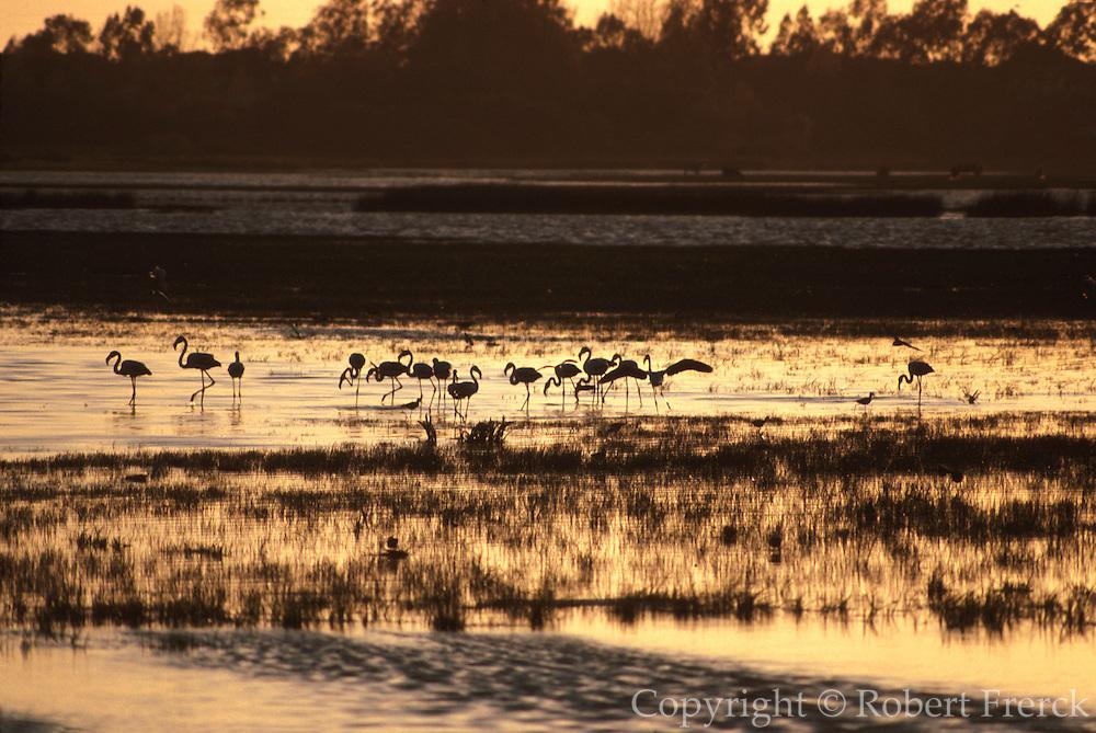 SPAIN, ANDALUSIA La Doñana National Park flamingos