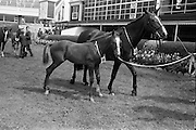"08/08/1967<br /> 08/08/1967<br /> 08 August 1967<br /> R.D.S. Horse Show, Ballsbridge, Dublin. ""Seagahan"" the property of Mr W. Mcl. wallace, M.R.C.V.S., Dunbarton House, Gosford, Portadown, Co. Armagh. 10yr old mare, winner of Class 8, Mares not eligible for entry in Weatherby's Stud Book, calculated to produce High-Class Hunters, with a foal at foot by a thoroughbred stallion, with Colt foal foaled on 2nd May by Valerullah."