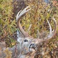 mature whitetail buck in natural habitat