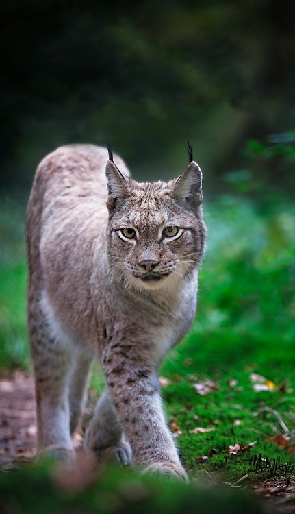 A Lynx walking in an autumnal forest in a wildelife park in Germany.