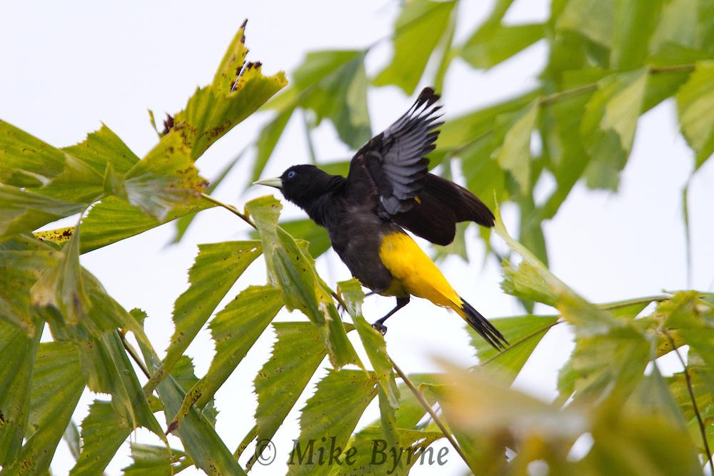 Yellow-rumped Cacique (Cacicus cela) in a tree at Jardim de Amazonia (Mato Grosso, Brazil)
