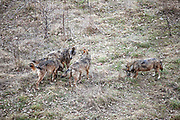 15 Febraury 2017, Civitella Alfedana - A group of wolves inside the wildlife area of the Apennine Wolf. A fenced area of about four hectares, where for staging points you can observe wolves in a state of semi-freedom.
