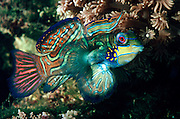 AQUACULTURE Mandarin Fish also known as a Psychedelic Fish from the Philippines