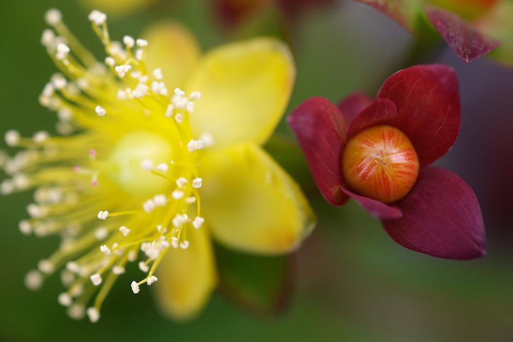 Tutsan ( Hypericum androsaemum ) Ireland Burren national park