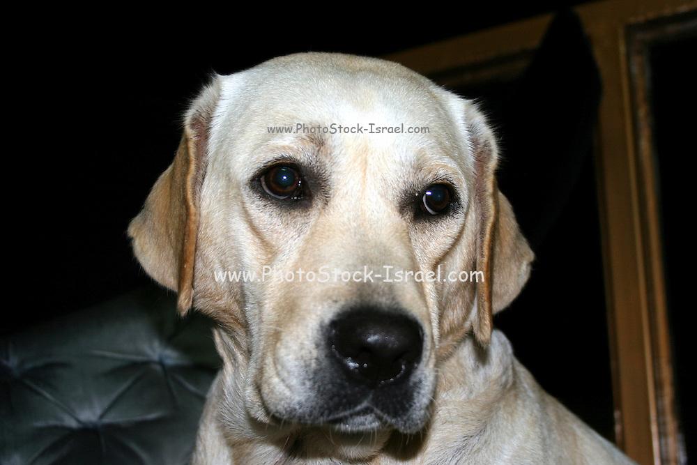 Labrador Retriever close up of the head