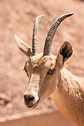 portrait of a female Nubian Ibex (Capra ibex nubiana), Judaean Desert, Israel