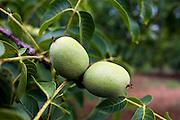Walnuts on walnut tree, Nux Gallica, near St Amand de Coly, Perigord region, Dordogne, France