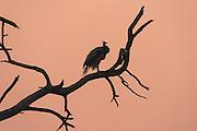 Indian peafowl (Pavo cristatus)<br /> Bharatpur National Park <br /> Rajasthan, India<br /> Range; Indian and Sri Lanka