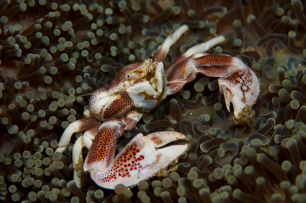 Anemone Crab (Neopetrolisthes ohshimai) in Lembeh Strait, Indonesia