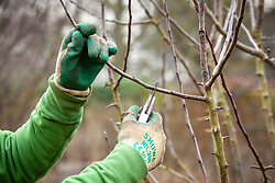 Winter pruning an apple tree - Malus domestica - with secateurs. Cutting back side stems