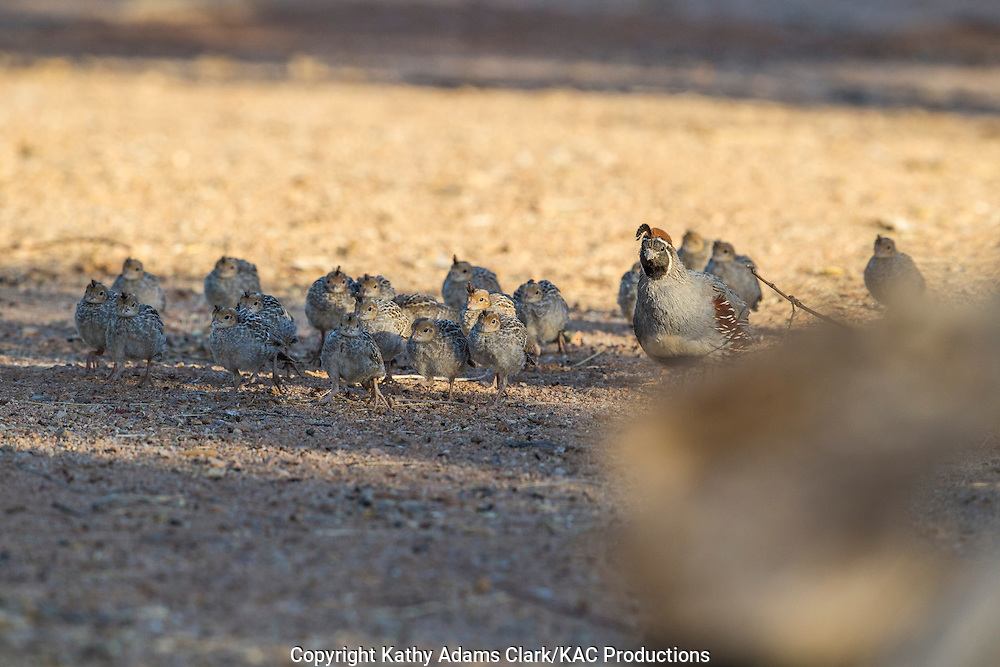 Gambel's quail; Callipepla gambelii; mother with babies, Arizona; Sonoran Desert;  Summer