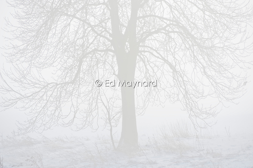 Snow, tree and mist, near Stoughton, Leicestershire, England, UK.