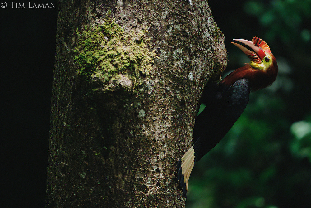 Critically endangered Waldens Hornbill (Aceros waldeni) also called Rufous-headed Hornbill.  male on the side of a tree at nest hole, passing food to female inside..Panay Island, Philippines.