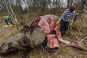 Poached White rhinoceros (Ceratotherium simum)<br /> <br />  Province<br /> SOUTH AFRICA<br /> RANGE: Southern & East Africa<br /> ENDANGERED SPECIES