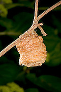 a praying mantis (Tenodera sinesis) egg case, or ootheca, in a garden in Portland, Oregon.