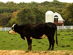 A cow on top of a dirt mound with a farm and trees in the background.