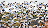 Snow geese take flight at Blackwater National Wildlife Refuge, Cambridge, Maryland
