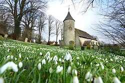 © Licensed to London News Pictures. 26/01/2018. Southease, UK.  Fudge, the cocker spaniel, sitting amogst a carpet of snowdrops in Southease churchyard in the South Downs National Park, East Sussex.  Photo credit: Peter Cripps/LNP