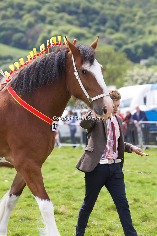Ebs Whittaker's 5 year old Mare ST GILES MORGANA<br /> SIRE  Acle Timelord<br /> DAM  Daresbrook Charlotte<br /> Winner 4 year old and upwards Gelding or Mare<br /> SUPREME SHIRE CHAMPION and SHS Silver Spoon