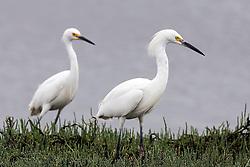 Snowy Egret (Egretta thula), Baylands Nature Preserve, Palo Alto, California, United States of America
