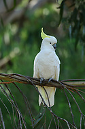 Australia, Victoria, Port Campbell National Park, Cockatoo