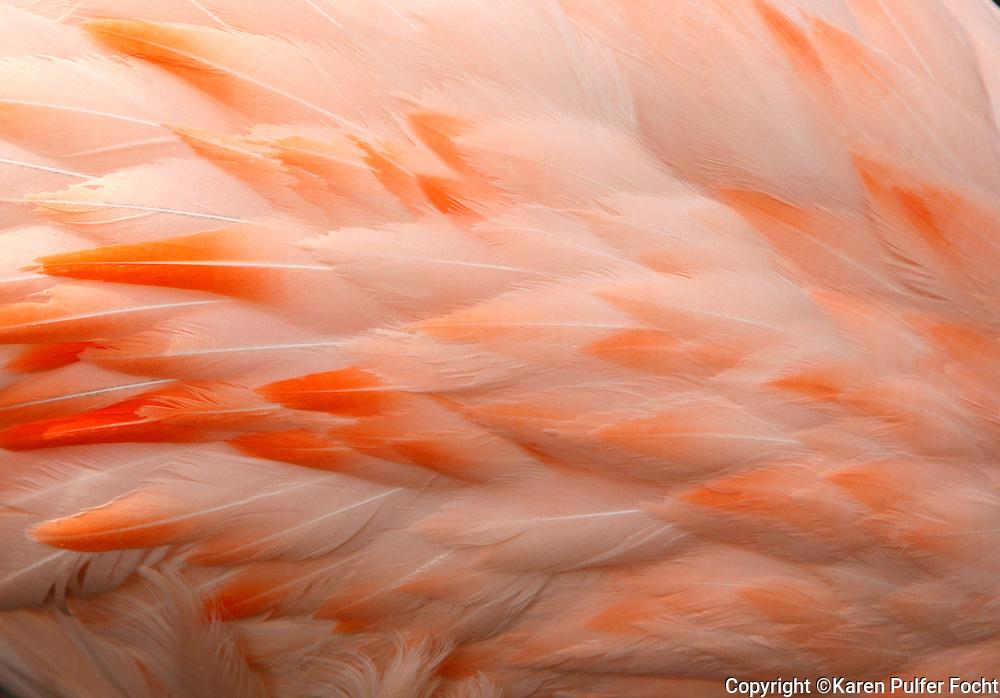 Flamingo, the Memphis Zoo, Memphis, Tennessee
