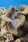 Giant clam (Tridacna gigas) - Agincourt Reef, Great Barrier Reef, Queensland, Australia.