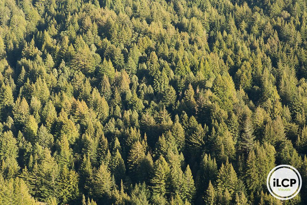 Coast Redwood (Sequoia sempervirens) forest, Santa Cruz Mountains, California