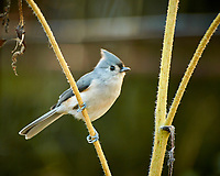 "Tufted ""Black-crested"" Titmouse looking for sunflower seeds. Autumn Backyard Nature in New Jersey. Image taken with a Nikon 1 V3 camera and 70-300 mm VR telephoto zoom lens. (ISO 160, 300 mm, f/5.6, 1/15 sec)."