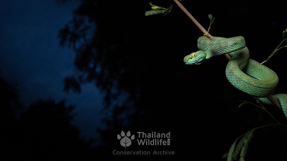 Large-eyed Pit Viper (Trimeresurus macrops) adult male in Sung Noen, Nakhon Ratchasima, Thailand