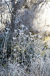 Frosty winter laneside with seedheads of Hogweed, Heracleum sphondylium