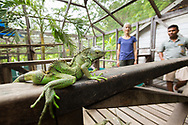 A Green Iguana ( Iguana iguana ) with a spinal deformation wonders at onlookers, the Belize Iguana Project.