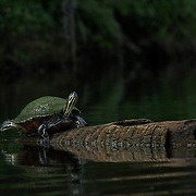A turtle suns itself along Turkey Creek as seen during a kayaking trip with Palm Bay Kayaks.  <br /> (12/11/2013  WILLIE J. ALLEN JR.]