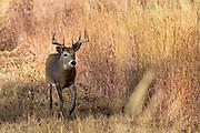 Mature whitetail buck in autumn habitat