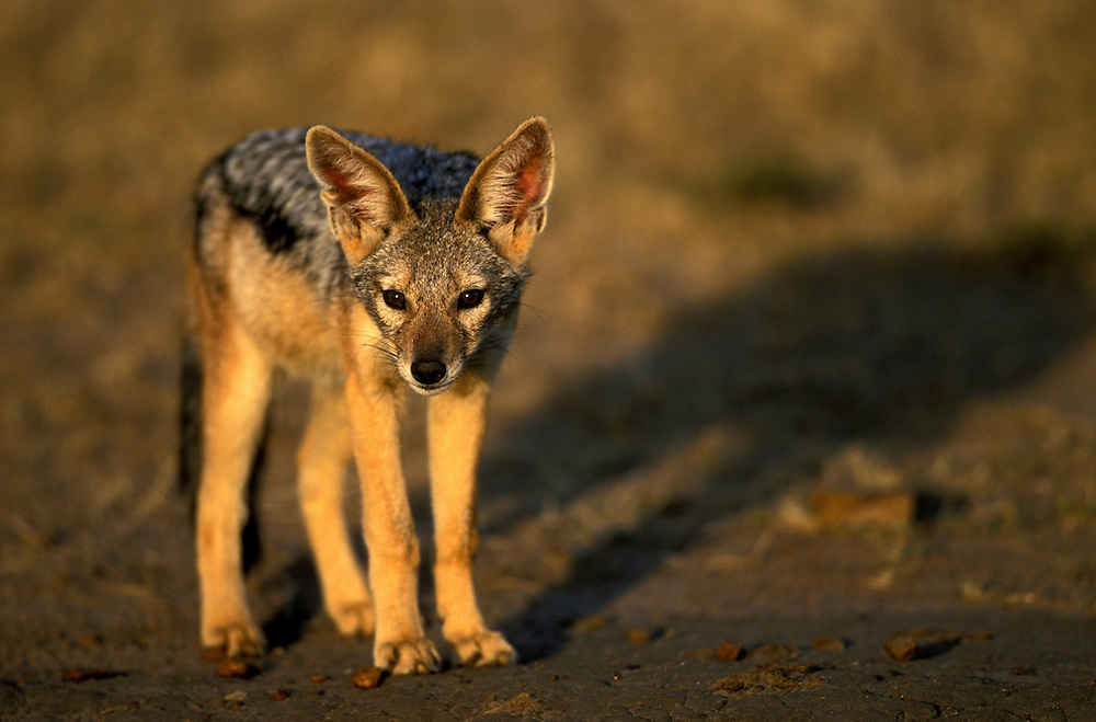 Kenya, Masai Mara Game Reserve, Black Backed Jackal (Canis mesomelas) pup plays near den in early morning light