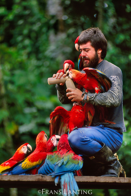 Researcher Alvaro del Campo feeding hungry macaws, Tambopata National Reserve, Peru