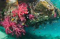 The underside of a floating dock becomes a thriving Soft Coral Garden with Schooling Damsels<br /> <br /> Shot in Indonesia