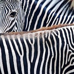 Zebra-de-grevy (Equus grevyi). Registro feito em 2009. Animal em Cativeiro.<br /> <br /> <br /> ENGLISH: Grevy's zebra. Picture made in 2009. Captive animal.