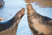 Donna Nook, Lincolnshire, UK – Nov 16: Grey seals fight sequence 3 of 3 on 16 Nov 2016 at Donna Nook Seal Sanctuary, Lincolnshire Wildlife Trust