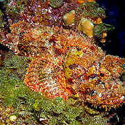 Spotted Scorpionfish most commonly inhabit reefs, but can be found in all bottom habitats in Tropical West Atlantic; picture taken San Salvador, Bahamas.