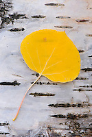 Fallen Aspen leaves (Populus tremuloides) on Paper Birch bark, Glacier National Park Montana USA