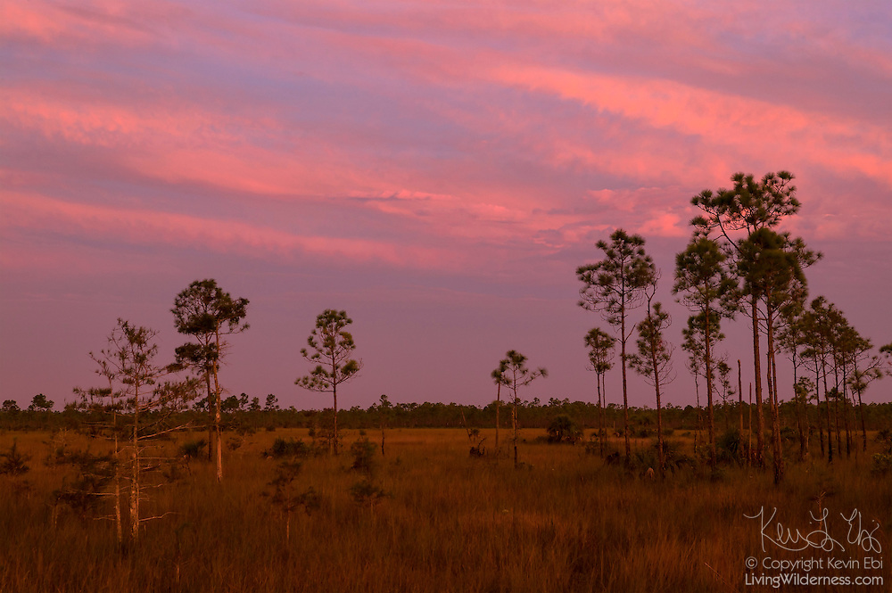 """Slash pine trees (Pinus elliotti) grow in the """"river of grass"""" that makes up the Florida Everglades. Pine trees, which need to stay relatively dry, grow at the highest points of the Everglades – only a foot or two higher than the lowest point."""