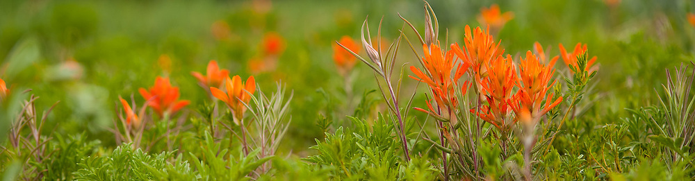 Castilleja, Indian Paintbrush