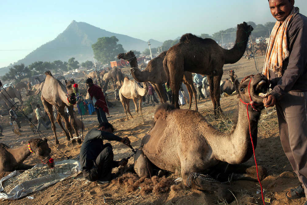 A camel cries out in distress as it is being sheared at the fair grounds in Pushkar, India, November 6, 2011.  Photographer: Prashanth Vishwanathan