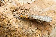 Stonefly (Neoperla clymene)<br /> TEXAS: Bastrop County<br /> McKinney Roughs Nature Park; Cedar Creek<br /> 13-May-2016<br /> J.C. Abbott #2813