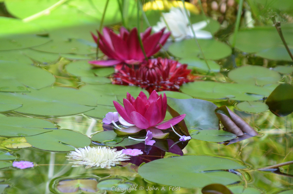 The water is laden with red and white lotus, their leaves and companion flowers.  Meditation sanctuary, Omega Institute, Rhinebeck, NY