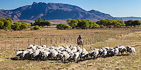 PEONES A CABALLO ARREANDO OVEJAS (CARNEROS), ESTANCIA LELEQUE, PROVINCIA DEL CHUBUT, ARGENTINA (PHOTO © MARCO GUOLI - ALL RIGHTS RESERVED)