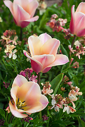 Tulipa 'Sanne' with Erysimum cheiri 'Sunset Apricot' - wallflower