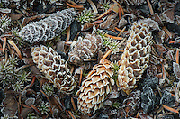 Group of frosted spruce cones