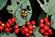 Leaf Beetle and Berries<br />